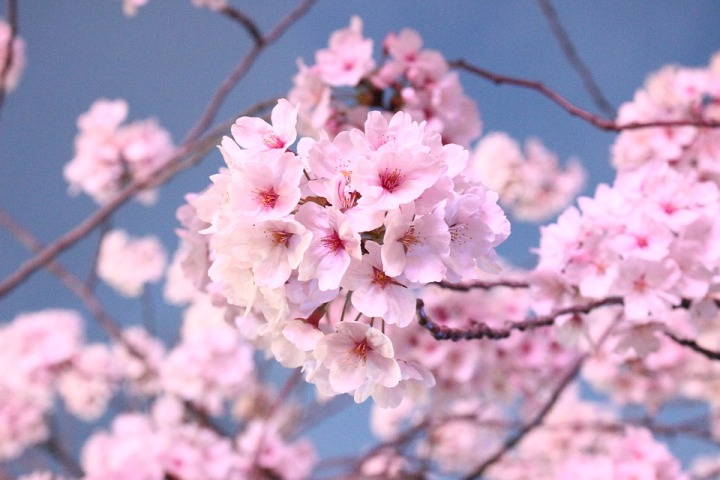 japanese-cherry-blossom-tree-3302085_960_720.jpg